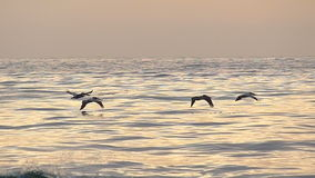 Pelican Birds Flying Over the Ocean in Slow Motion Stock Images