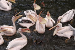 Pelican birds getting food royalty free stock photography
