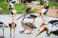 Pelican and birds Kabbaw Royalty Free Stock Photo