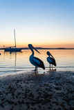 Pelican Birds Standing Lagoon  Royalty Free Stock Photos