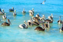 Pelican birds in Caribbean Mexico. Pelican birds swimming in Caribbean beach of Mexico Stock Photos