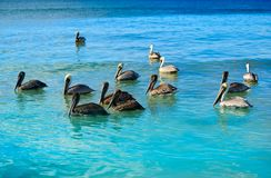 Pelican birds in Caribbean Mexico. Pelican birds swimming in Caribbean beach of Mexico Stock Images