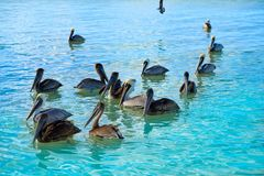 Pelican birds in Caribbean Mexico. Pelican birds swimming in Caribbean beach of Mexico Royalty Free Stock Image