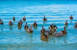 Pelican birds swimming in Caribbean. Beach of Mexico Stock Photo