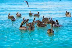 Pelican birds swimming in Caribbean. Beach of Mexico Stock Photography