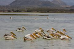 Pelican birds in the wild nature swim on a lake stock photos
