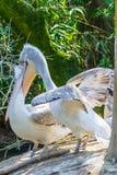 Pelican biting another pelican, cannibal bird. Pelican biting another pelican in a zoo Stock Photos