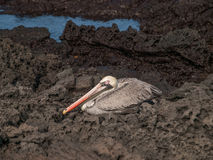 Pelican on Black Rock Royalty Free Stock Photography