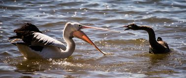 Pelican and black swan fighting - 1. A pelican was fishing quietly when a black swan invaded its territory. A duel broke out with much hissing and pecking by the Stock Photography