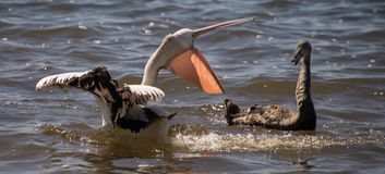 Pelican and black swan fighting - 2. A pelican was fishing quietly when a black swan invaded its territory. A duel broke out with much hissing and pecking by the Stock Photography