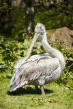 Pelican at Blackbrook Zoo Staffordshire. Stock Photos