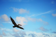 Pelican in the blue sky Stock Photography
