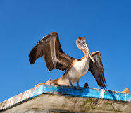 Pelican on blue sky background Stock Photography