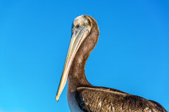 Pelican and Blue Sky Stock Photo