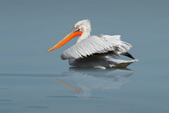 The pelican Royalty Free Stock Photo