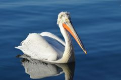 Pelican on Blue Water Stock Photos