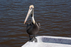 Pelican on boat. Pelican is perched on a boat in Mazatlan, Mexico, while on a cruise shore excursion Stock Photo