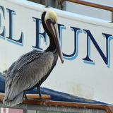 Pelican on a boat. Bird resting on a boat Stock Images
