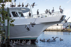 Pelicans On A Boat Stock Photos