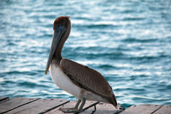 Pelican on boat dock on Isla Mujeres island just off the Cancun coastline of Mexico Royalty Free Stock Images