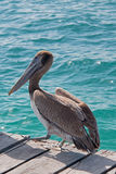 Pelican on boat dock on Isla Mujeres island just off the Cancun coastline of Mexico Stock Photography