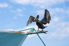 Pelican on Boat. Brown Pelican (Pelecanus occidentalis) drying its wings on a boat in the Baquerizo harbor on San Cristobal Island Royalty Free Stock Images