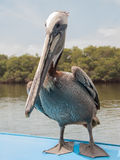 Pelican on boat Royalty Free Stock Images