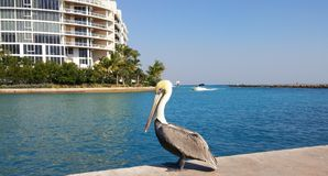 Pelican by Boca Raton Inlet Royalty Free Stock Photography