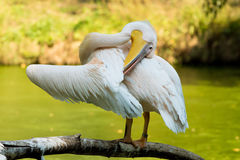 Pelican on a branch Royalty Free Stock Images