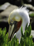 Pelican in Breeding Plumage, California. The brown pelican seabird in colorful feathers of winter breeding plumage on the cliffs of the tourist destination of La Stock Photo