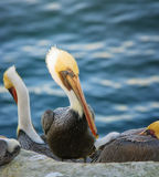 Pelican in Breeding Plumage , California Stock Image
