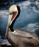 Pelican, Breeding Plumage, La Jolla, California Stock Images
