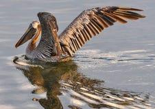 Pelican, Brown, Bird, Wildlife Royalty Free Stock Images