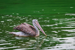 Pelican. Royalty Free Stock Image