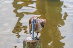 Pelican. Brown Pelican standing on one foot royalty free stock photos