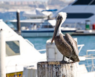 Pelican in Cabo San Lucas Stock Photo