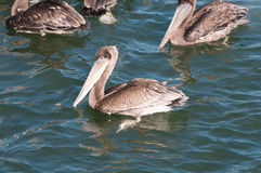 Pelican on the California Coast Stock Photo