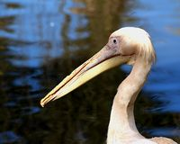 Pelican. Captured at the World of Birds near Cape Town, South Africa Royalty Free Stock Image