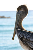 Pelican on Caribbean sea background Royalty Free Stock Images