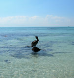 Pelican in the Caribbeans. Photo taken in Cancun, Mexico Royalty Free Stock Photo