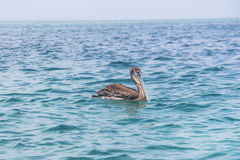 Pelican in the carribean Stock Photography