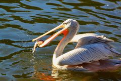 Pelican catching a fish in a lake royalty free stock photos