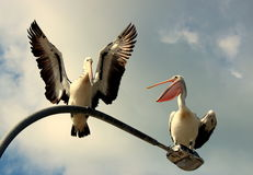 Pelican Chat. Pelicans in motion at Nelson Bay Stock Photo