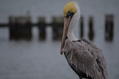 Pelican Checking Me Out. Pelican looking at me in Palacios, Texas Royalty Free Stock Photo