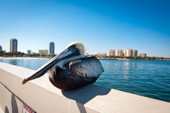 Pelican By the City Stock Photo