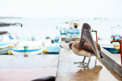 Pelican at city port Royalty Free Stock Photos