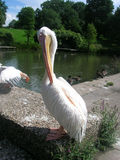Pelican. Clean the feathers with the beak on the auger Royalty Free Stock Images