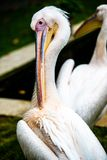 Pelican cleaning his plumage Stock Images