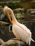 Pelican cleaning itself. A pink Pelican cleaning itself Royalty Free Stock Photography