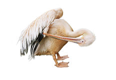 Pelican cleans feathers Stock Image